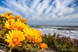 Wildflowers and beautiful coastline in South Africa
